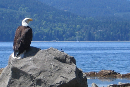 Eagle at Salt Spring beach